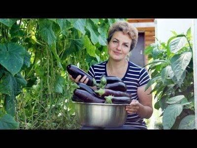Как выращивать и ухаживать за баклажанами в теплице
