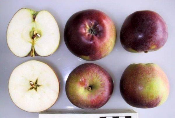 Описание сорта яблони спартан: основные характеристики и особенности ухода
