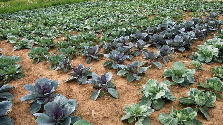 Капуста: выращивание, посадка и уход в открытом грунте