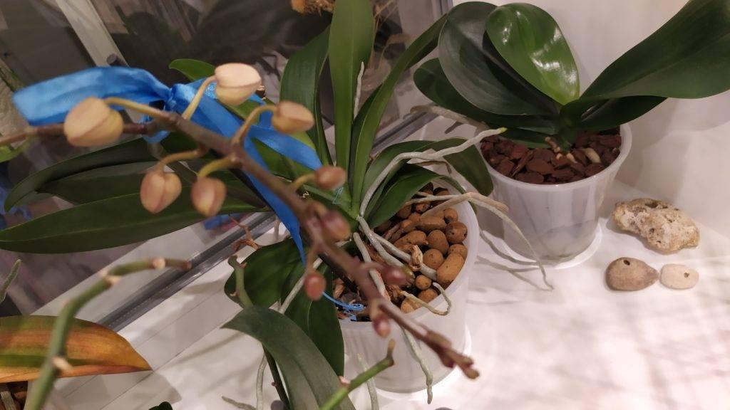 Как отличить корень от цветоноса у орхидеи: рекомендации по уходу