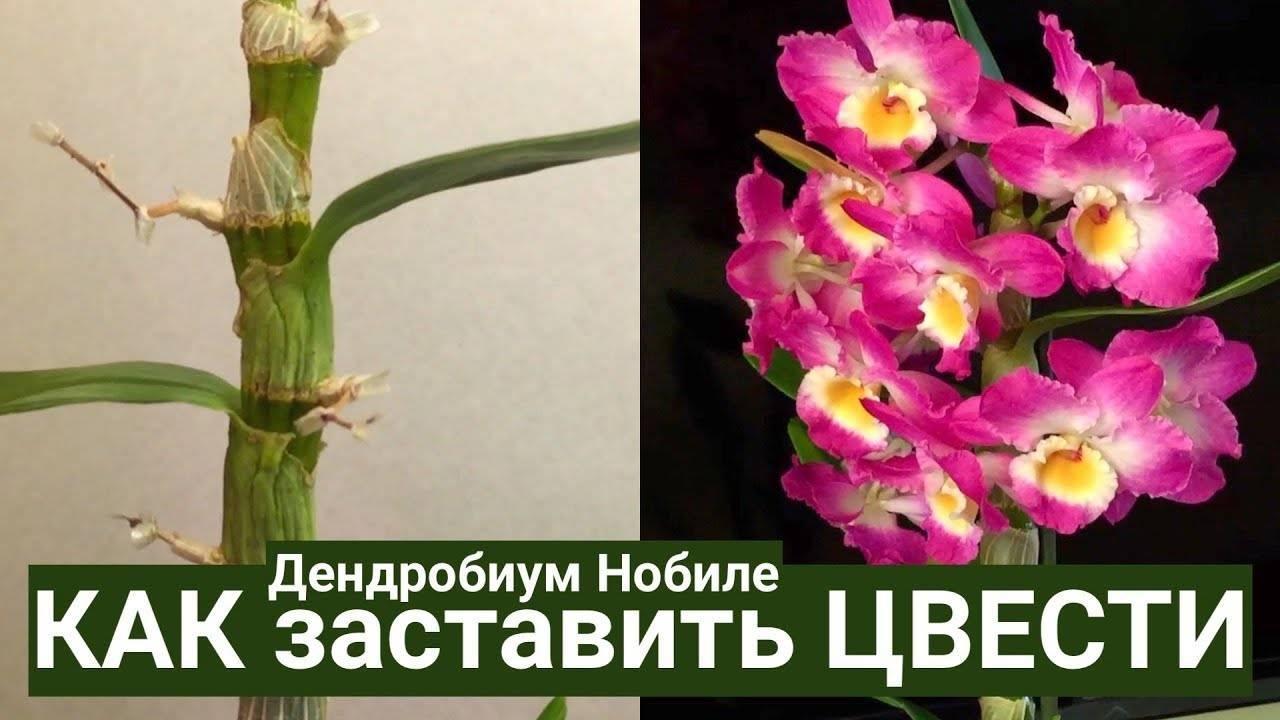 Дендробиум уход в домашних условиях, фото, размножение, цветение, пересадка дендробиума