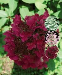 Гортензия вимс ред метельчатая: описание и фото, уход и посадка, зимостойкость растения