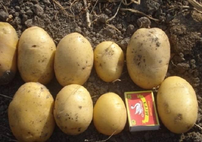 Картофель агрия: описание сорта, фото, отзывы, вкусовые качества