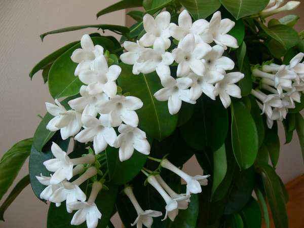 Жасмин садовый: посадка, уход, размножение, болезни | фото