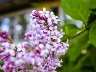 Махровая и карликовая персидская сирень, описание и виды цветка с фото, правильный уход и посадка, размножение и пересадка