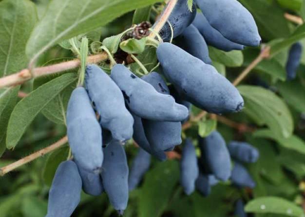 Растение ирга: фото и описание ягод кустарника, выращивание, уход и размножение ирги