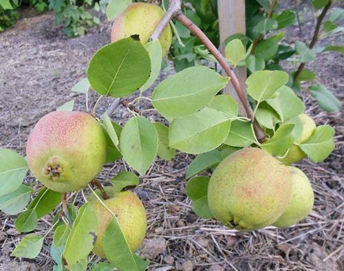 Груша лада: характеристика вкусного раннелетнего сорта