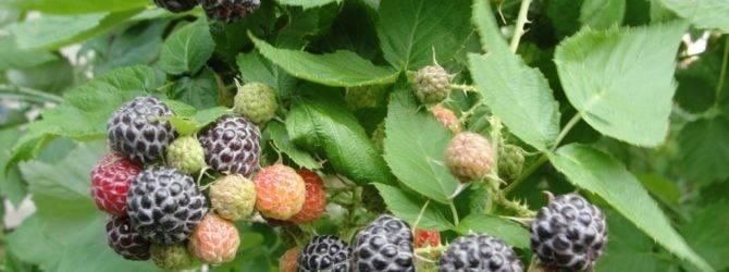 Ежемалина: уход, выращивание и размножение, что за ягода?