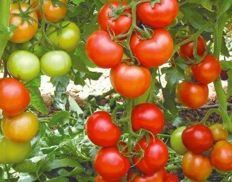 """Томат """"никола"""": характеристика и описание сорта, фото помидоров и особенности выращивания русский фермер"""