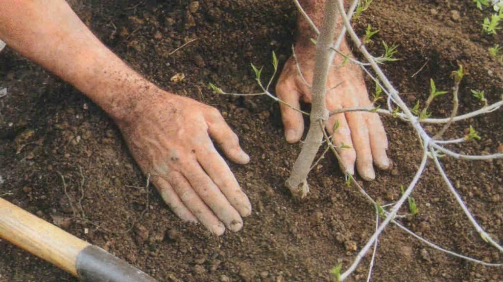 Посадка груши весной саженцами — уход за садовой культурой