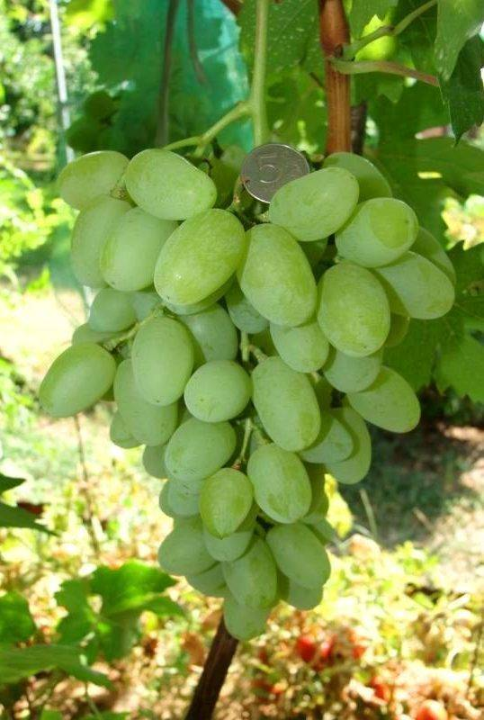 Виноград сорта ландыш: тандем урожайности и морозоустойчивости