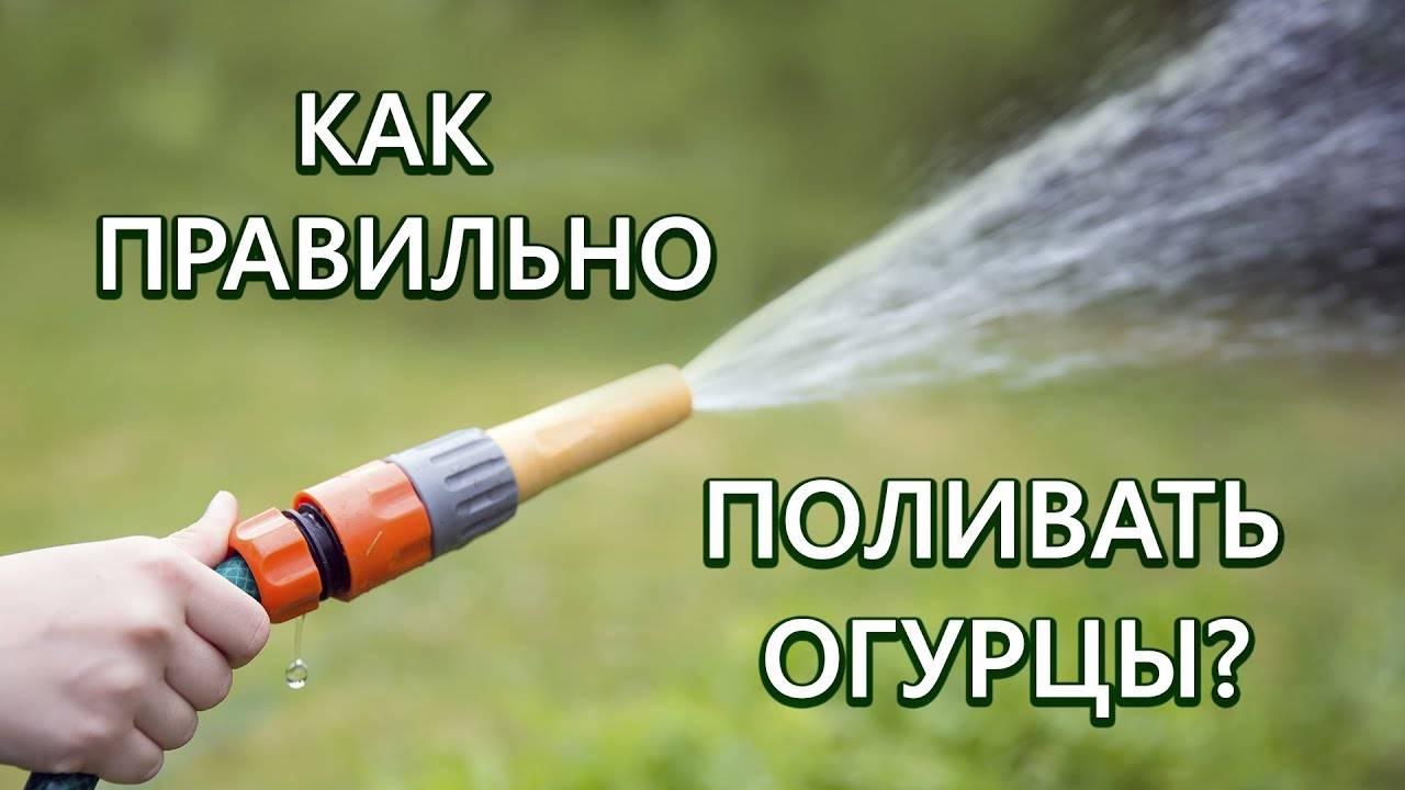 Как правильно поливать огурцы в открытом грунте