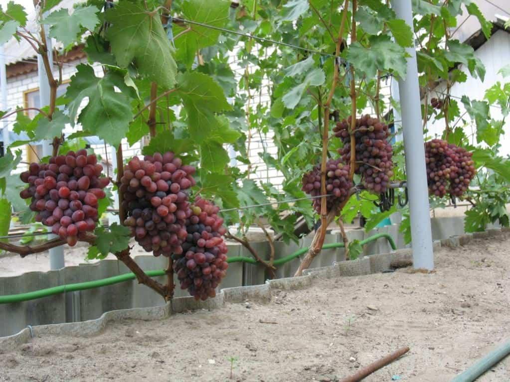 Виноград аттика: описание сорта, фото и отзывы садоводов