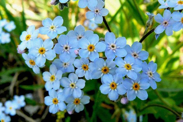 Незабудки: фото цветов с описанием, посадка, выращивание и уход - sadovnikam.ru