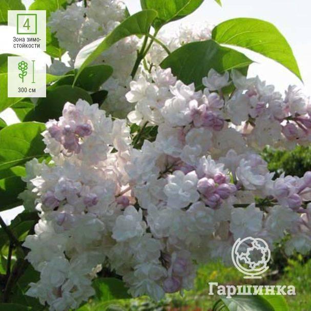 Сирень обыкновенная красавица москвы (московская красавица): фото, описание сорта, отзывы, высота