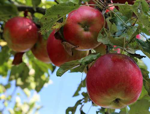Яблоки айдаред — распишем по порядку