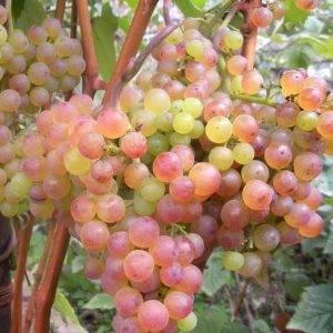 Виноград розовый: описание сортов - про сорта