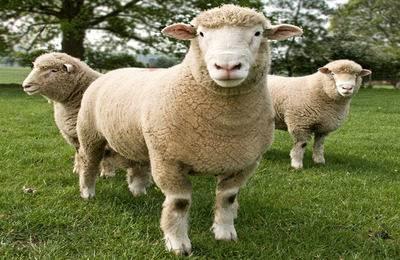 Описание овец прекосы: скороспелая мясо-шерстная порода