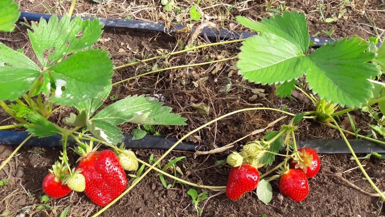 Клубника джоли: описание сорта с характеристикой и отзывами, особенности посадки и выращивания и ухода, фото