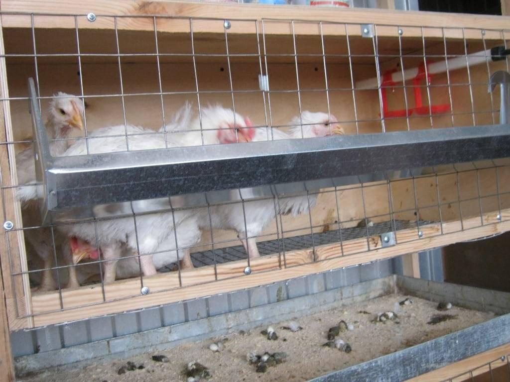 Выращивание бройлерных цыплят в домашних условиях от а до я
