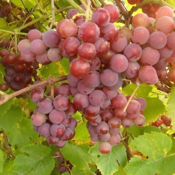 Мускат розовый, ранний - описание сорта винограда