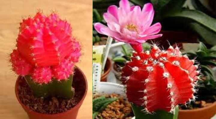 Гимнокалициум (46 фото): виды и названия кактуса, гимнокалициум михановича и микс, уход в домашних условиях