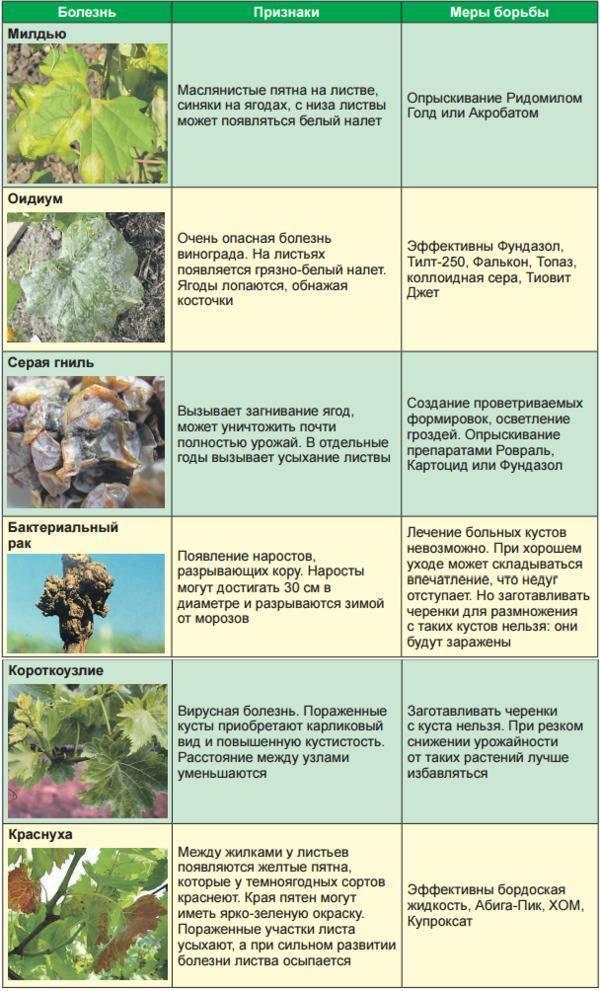 Вредители и болезни винограда: фото недугов и их лечение