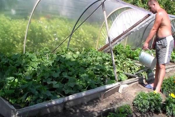 Как нужно поливать огурцы в открытом грунте правильно