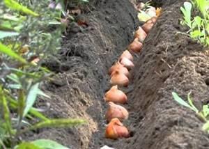 Тюльпаны осенью: как и когда сажать, подготовка к зиме