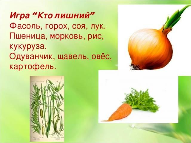 Особенности строения корневой системы моркови: ботаническое описание корнеплода, как выглядит поперечный срез корня морковки