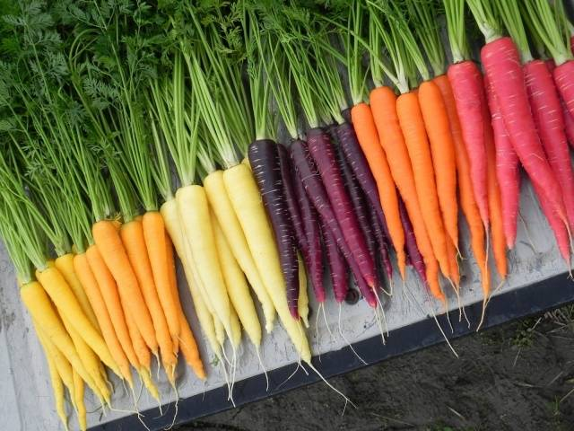 Желтая морковь: польза и вред, обзор сортов с описанием и фото