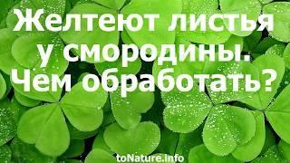 Почему желтеют листья смородины