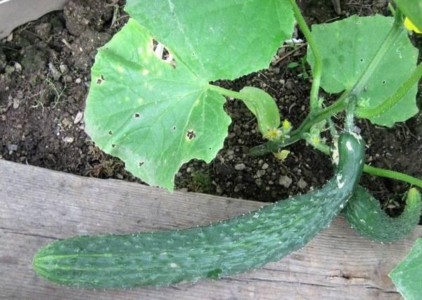 Огурцы сорта изумрудный поток: тонкие овощи для салатов. описание и характеристика
