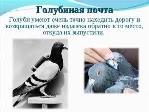 Почему почтовые голуби летят в нужное место? описание, фото и видео  - «как и почему»