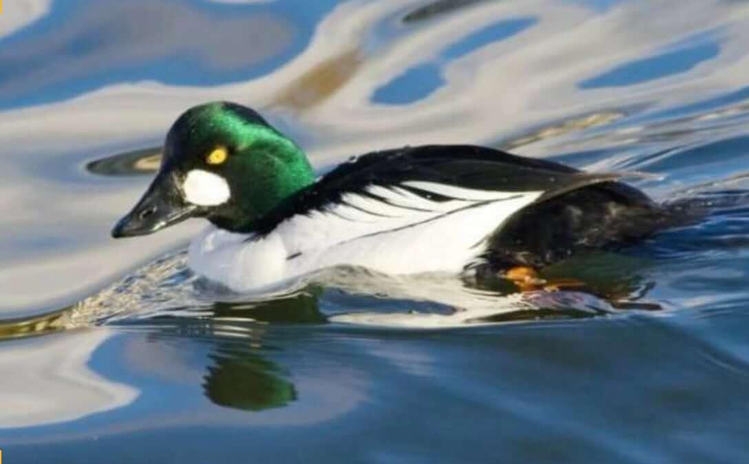 Нырковые утки: описание, фото