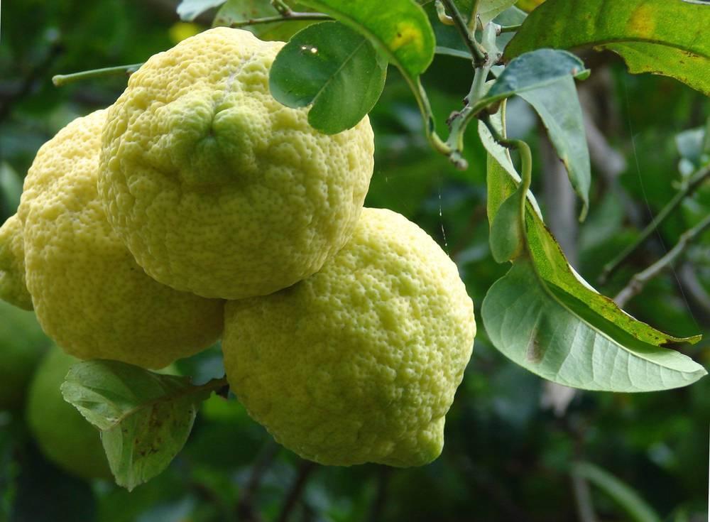 Лимон: где растет, фото