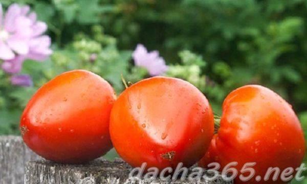 Цифомандра (томатное дерево) - метод выращивания, отзывы, фото, описание