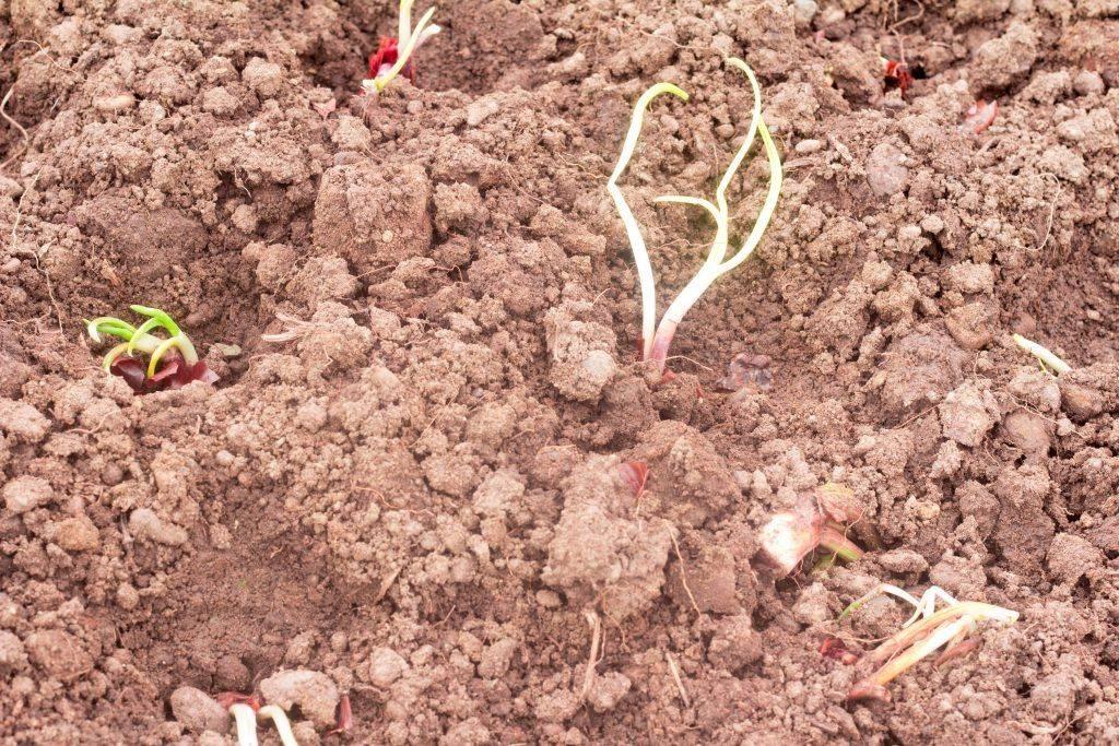 5 правил посадки лука севка весной