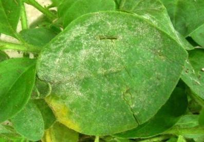 У петунии липкие листья: что делать. причины, профилактика