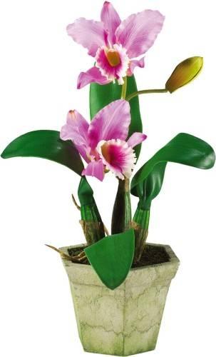 Орхидея каттлея - уход в домашних условиях. рекомендации цветовода