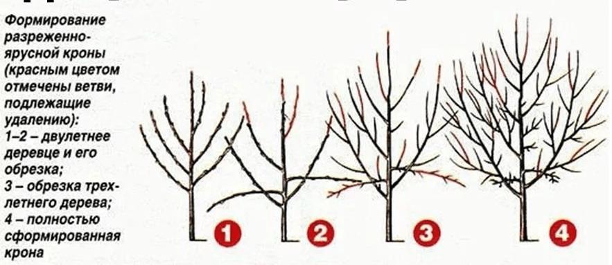 Обрезка вишни весной и осенью для начинающих садоводов