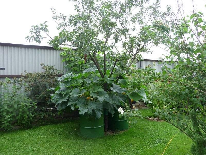 Как вырастить кабачки в открытом грунте и в домашних условиях? правила посадки и ухода на ydoo.info