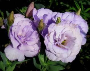 Цветок эустома (58 фото): выращивание из клубней, посадка корнем, уход в домашних условиях, в сибири, видео
