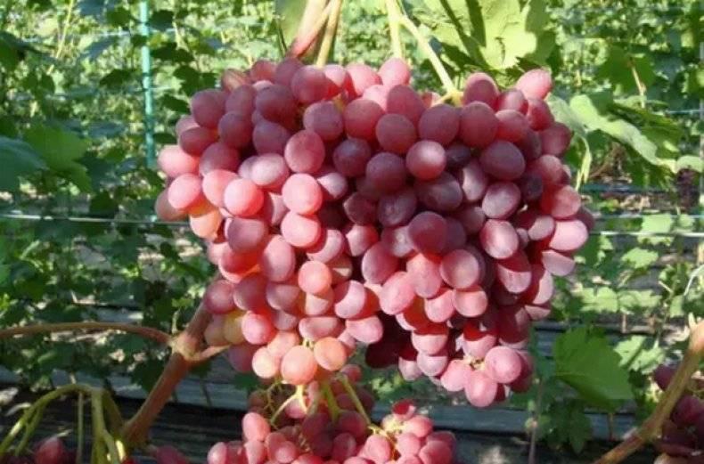 Виноград сорт «кишмиш»: описание сорта