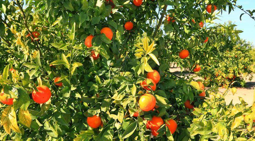 Разница между мандаринами и клементинами