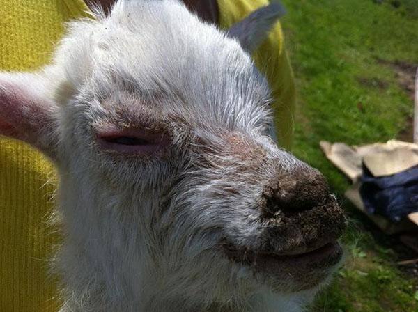 Болезни вымени коз и как их лечить