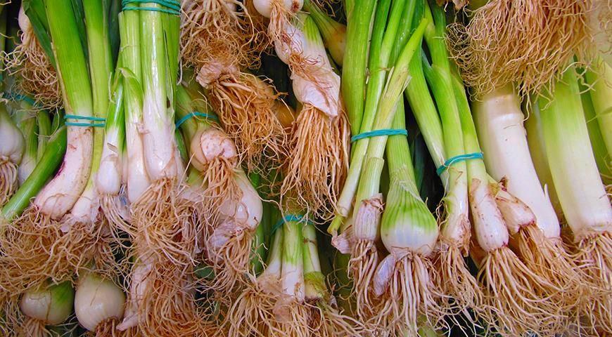Как хранить лук порей зимой в домашних условиях