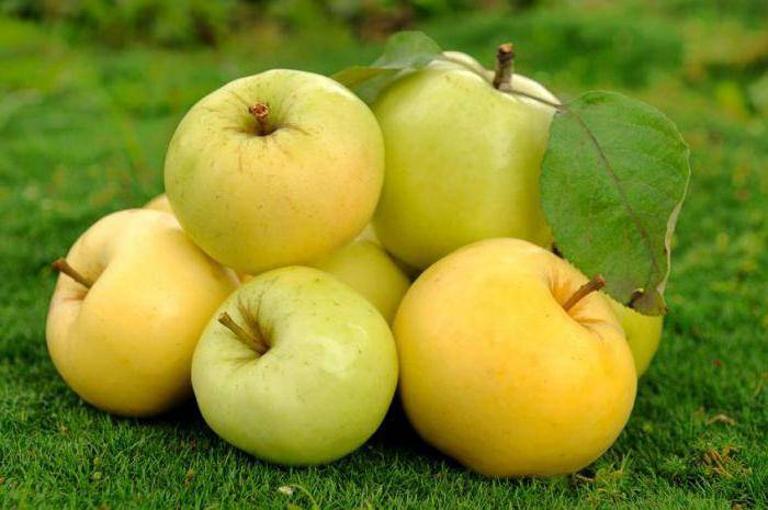 Сорт яблони уральское наливное, посадка и уход