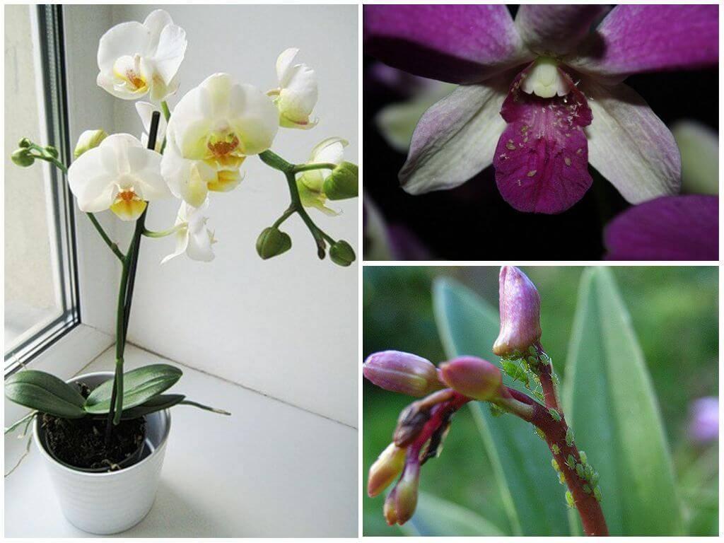 Как избавиться от тли на орхидеях