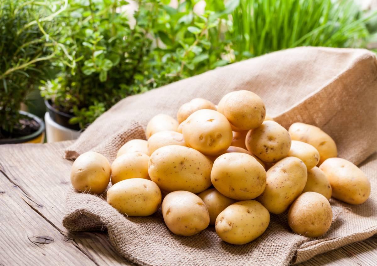 Сорта картофеля для сибири с фото и описанием
